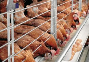 poultry-farming-eggs